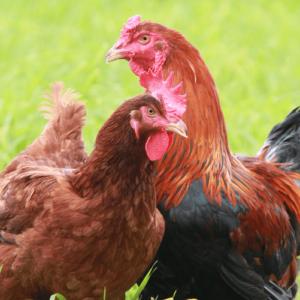 hinai-chicken